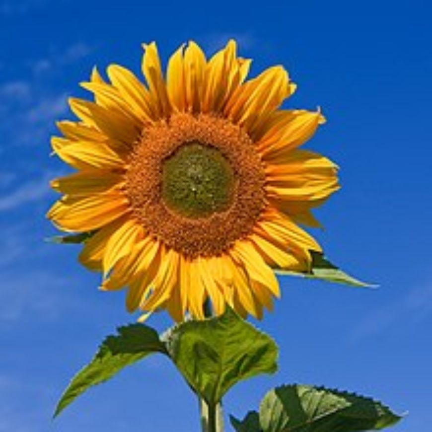 Sunflowers are for everyone